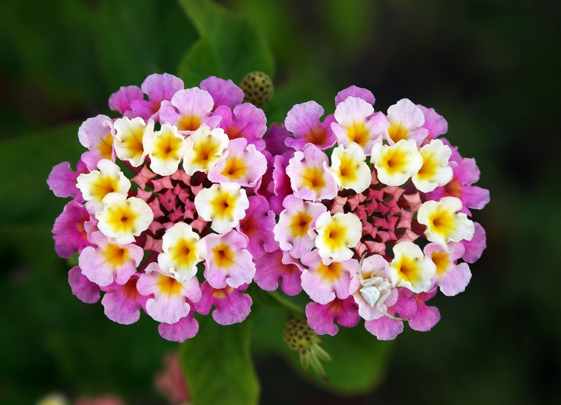 Enjoy More Color And Less Deadheading With Bloomify™ Lantanas!