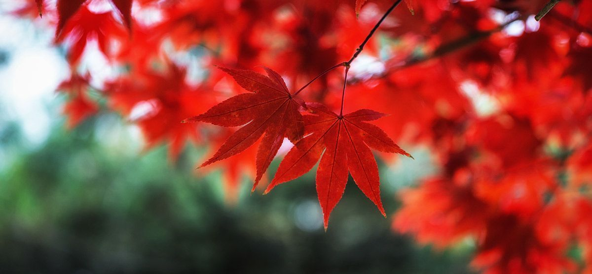 red-maple-feature